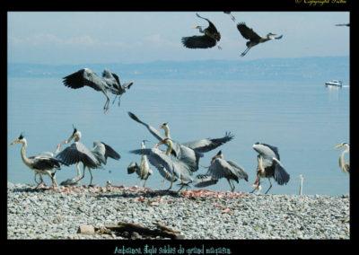 26-nourriture-herons-rivage amphion