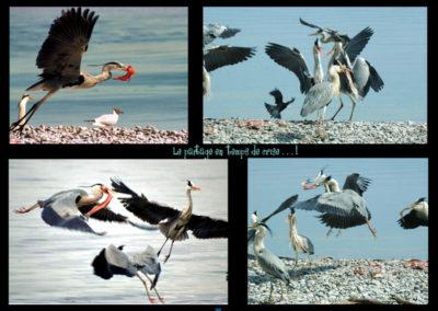 27-nourriture-herons-rivage-publier