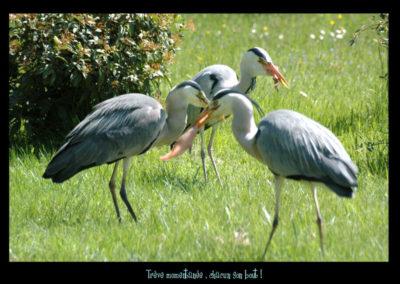 29-nourriture-herons-rivage mottay