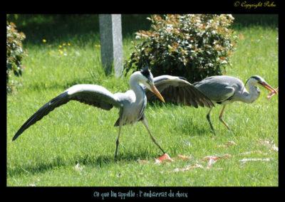 30-nourriture-herons-rivage-publier