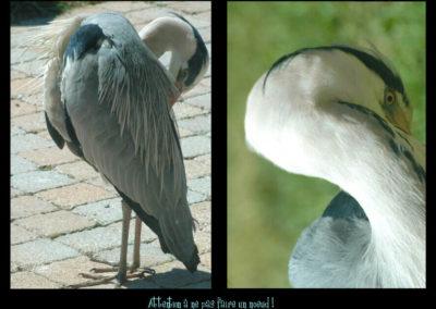 44-herons-postures-conservatoire littoral