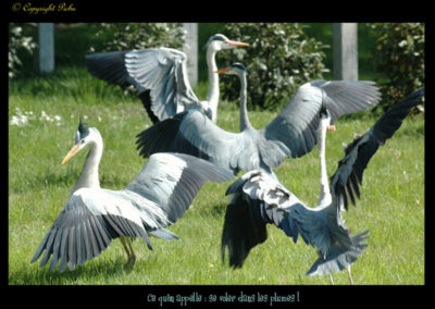 45-herons-postures-conservatoire littoral