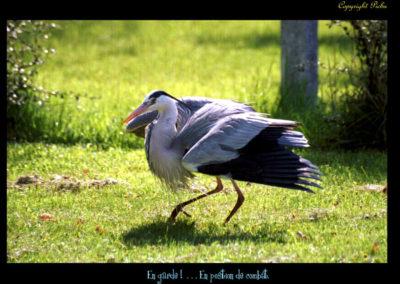 46-herons-postures-conservatoire littoral