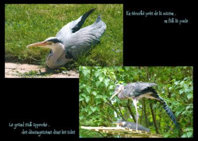 47-herons-postures-conservatoire littoral