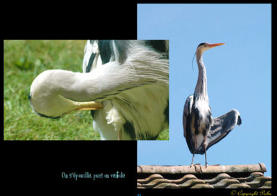 48-herons-postures-conservatoire littoral
