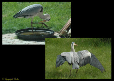 49-herons-postures-conservatoire littoral
