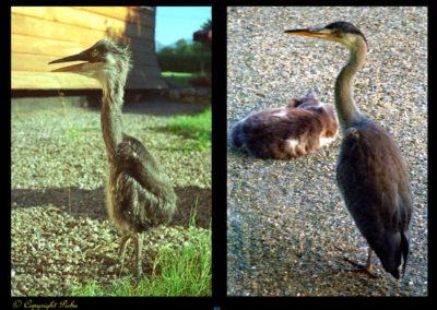 54-herons-rencontre insolite-amphion