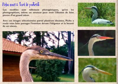59-portrait-heron-picbu