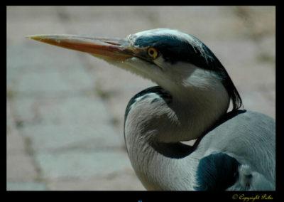 60-portrait-heron-picbu