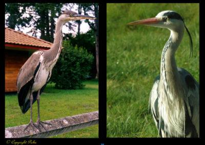 61-portrait-heron-picbu