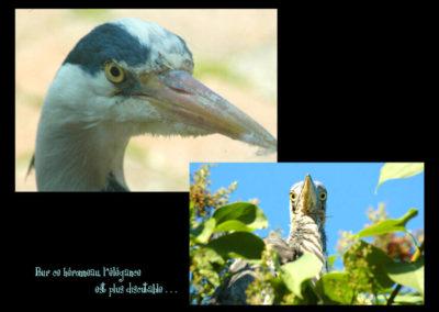 62-portrait-heron-picbu